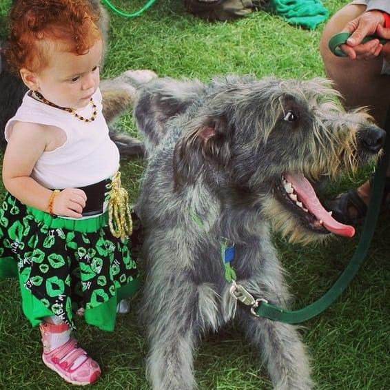 Irish-Wolf-hound
