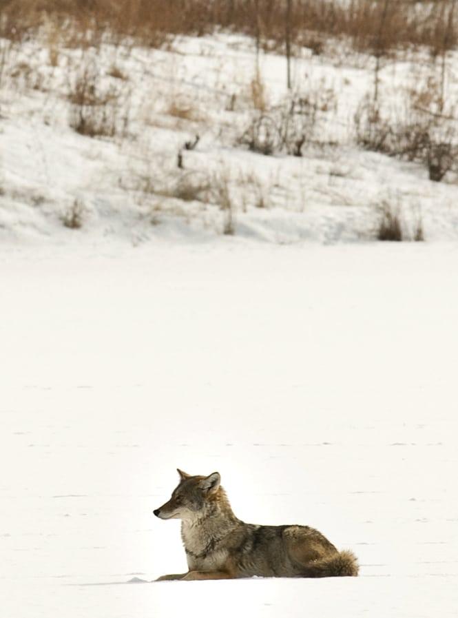Coyote on Pickerel Lake&copy Tony Ernst/gamelaner on Flickr
